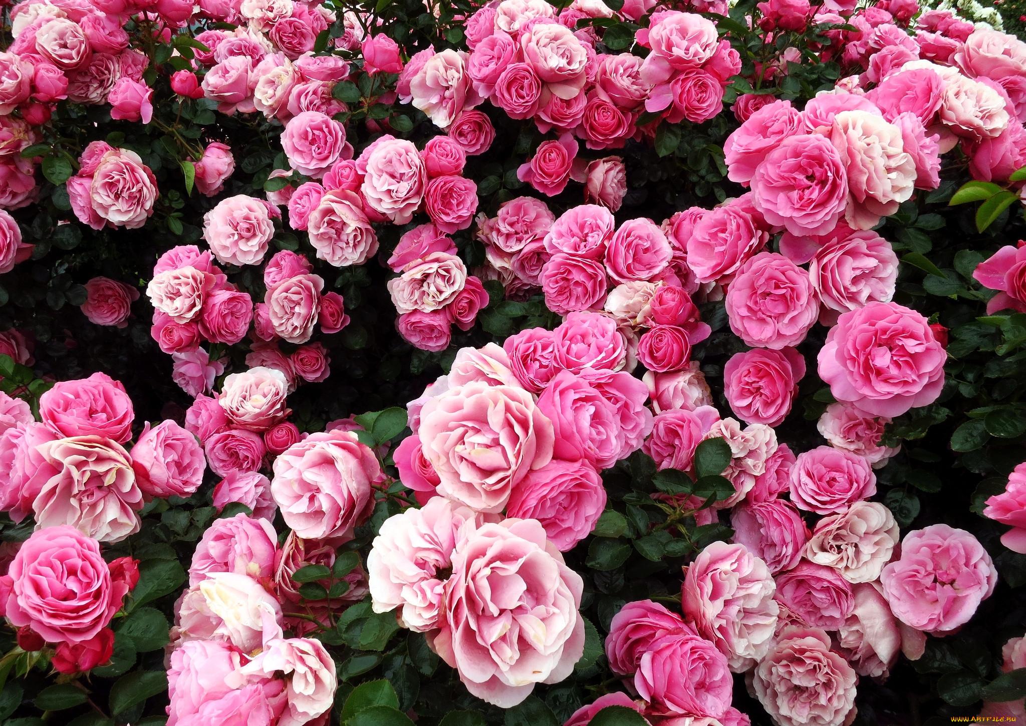 цветы, розы, много, розовый